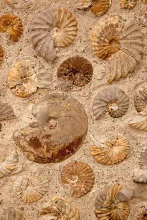 archaeology: A background texture of ammonite fossils embedded in rock.