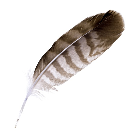 quill pen: Buzzard feather isolated on white background  Space for your text Stock Photo