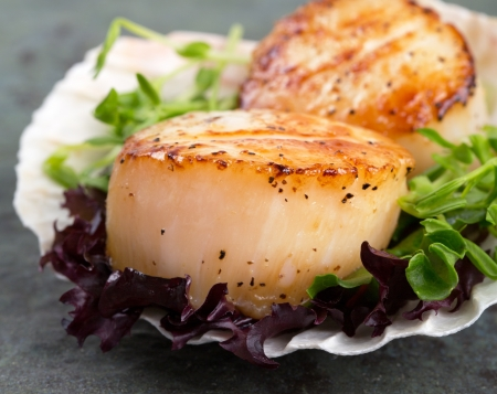 Studio closeup of seared scallops, garnished with pea shoots and served on a bed of green and purple curly lettuces, presented on a scallop shell
