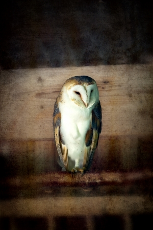 Barn owl perched on a branch in an old barn  Vintage weathered wood textured effect  photo