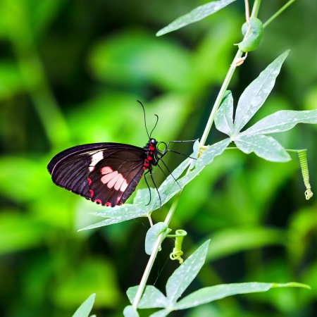 species of creeper: Closeup of a female Transandean Cattleheart, Parides iphidamas, butterfly on a pasion fruit vine  A tailless Swallowtail butterfly native to Central and South America
