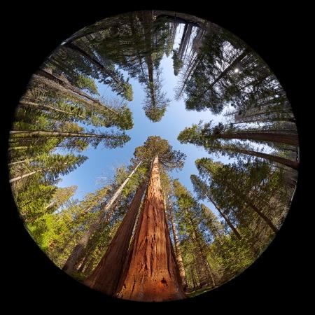 마리포사 그 로브 자이언트 세쿼이아 나무, 요세미티 국립 공원, 캘리포니아, 미국의 fisheye보기 스톡 콘텐츠