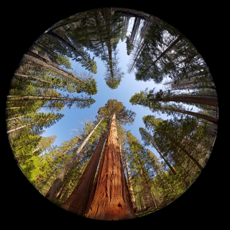 Fisheye view of the Giant Sequoia Trees in Mariposa Grove, Yosemite National park, California, USA
