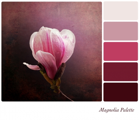 tones: A a single pink magnolia flower on a vintage style background,  in a colour palette with complimentary colour swatches. Stock Photo