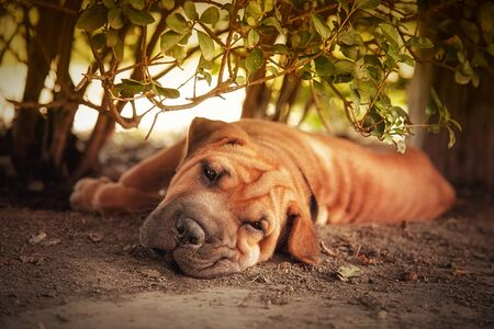 Out of the sun, a Shar pei tries to rest in the shade of a hedge. Retro style processing. photo