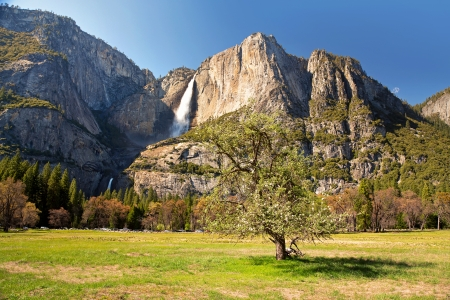 Blossoming tree in Yosemite meadow with the Upper and Lower Yosemite Falls behind