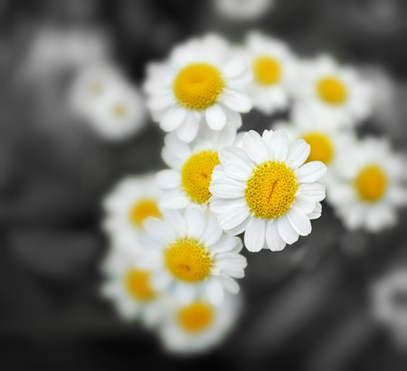 Delicate chamomile flowers closeup  Intentional selective focus and desaturation  photo