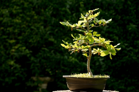 small details: Bonsai tree in bright sunlight, with space for your text