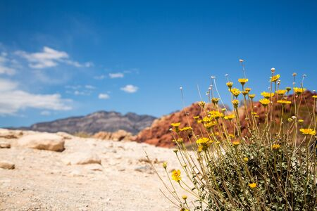 Wildflowers in Red Rock Canyon, Las Vegas, Nevada, USA