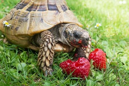 land shell: Tortoise eating ripe strawberries, closeup  Stock Photo