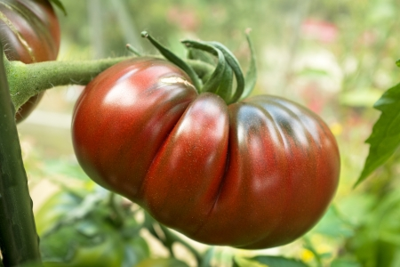 Closeup of a heritage Black Russian tomato on the vine