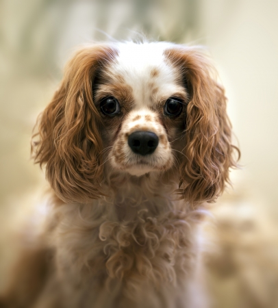 Portrait of Cavalie King Charles Spaniel. Intentional shallow depth of field with focus on eye. photo