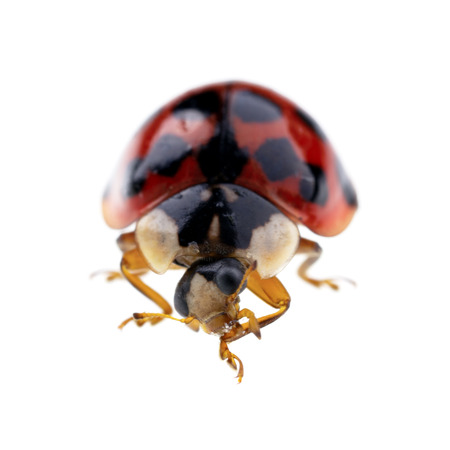 coccinellidae: Extreme macro of a ladbird isolated on a white background