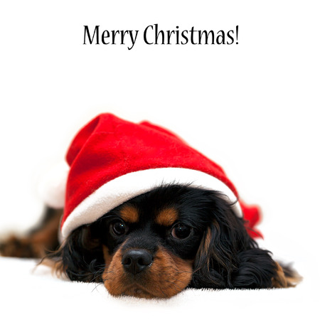 Marmaduke the black and tan Cavalier wears a Santa Suit isolated on white background with Merry Christmas wishes photo