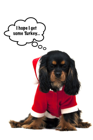 Marmaduke the black and tan Cavalier wears a Santa Suit and hopes to share some Christmas dinner photo