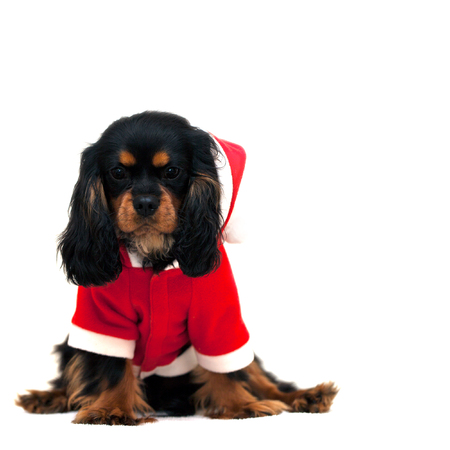 Marmaduke the black and tan Cavalier wears a Santa Suit isolated on white background. Space for your text photo