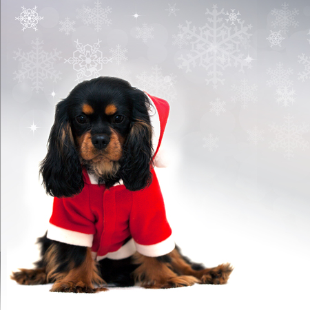 Marmaduke the black and tan Cavalier wears a Santa Suit isolated on festive snowflake background. Space for your text photo