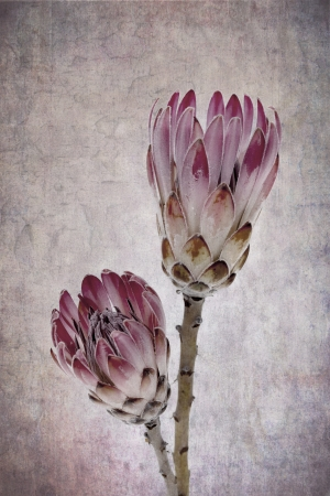 Heads of two protea flowers, vintage effect background. photo
