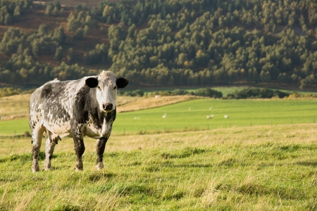 dappled: Black and white dappled cow standing in green field