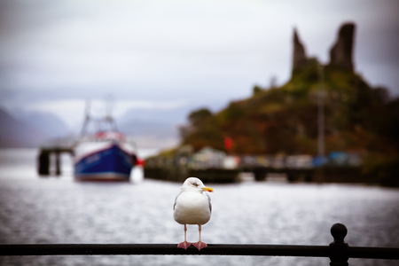 shallow depth of field: Seagull on harbour railing, Kyleakin, Isle of Skye, Scotland  Intentional nostalgic processing with shallow depth of field, showing harbour and Castle Moil in the background  Stock Photo