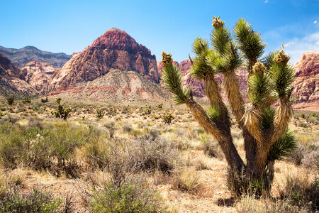 national plant: Joshua tree in the foreground,with Red Rock Canyon in the distance. Las Vegas, Nevada, USA