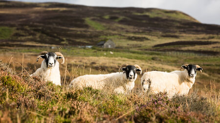 animal ram: A trio of curious sheep in the Highlands of Scotland, UK