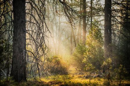 redwood: Early morning light in Mariposa, Yosemite National Park, California, USA. HDR Processing. Stock Photo