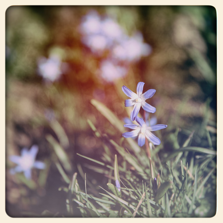 Wild flowers, Glory of the Snow,  chionodoxa forbesii , filtered to look like an aged instant photograph photo