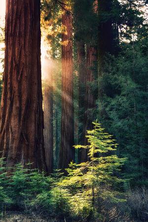 La lumière du soleil du matin dans les séquoias de Mariposa Grove, Yosemite National Park, Californie, USA Rayons de soleil Hightlight un jeune arbre