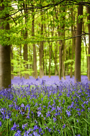 A carpet of bluebells in the woods, Hampshire, UK photo