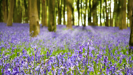 beech wood: A carpet of bluebells in the woods in early morning sunlight, Hampshire, UK