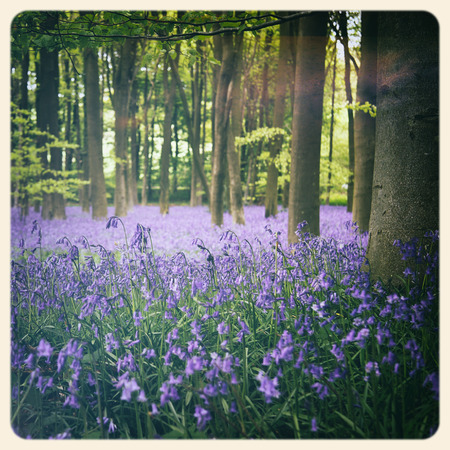 bluebells: Bluebells in a wood in Hampshire, UK  Filtered to look like an aged instant photo  Stock Photo