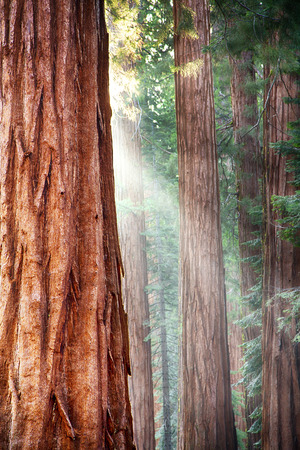 tall tree: Early morning sunlight in the Sequoias of Mariposa Grove, Yosemite National Park, California, USA