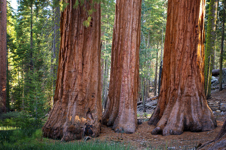 The Three Graces in Mariposa Grove of giant redwoods, Yosemite National Park, California. photo