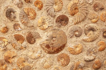 Een achtergrond textuur van ammonietfossielen ingebed in rots