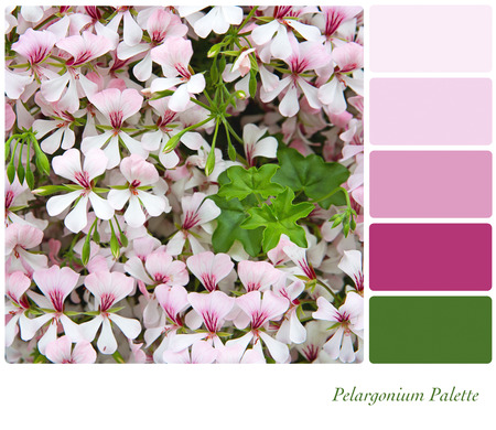 complimentary: A background of pink pelargonium flowers, in a colour palette with complimentary colour swatches
