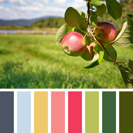 color color palette: Ripe apples hanging from a tree in an orchard, in a colour palette, with complimentary colour swatches Stock Photo