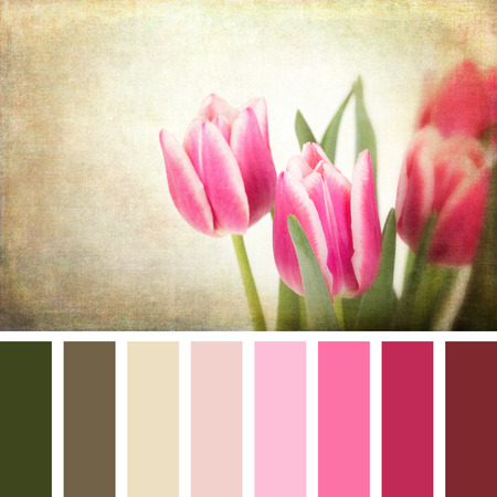 complimentary: A closeup of pink tulips, with textured retro style processing, in a colour palette with complimentary colour swatches