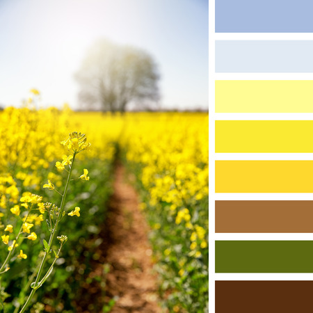 complimentary: Vibrant yellow rapeseed flowers in a meadow, Hampshire, UK. In a colour palette with complimentary colour swatches. Stock Photo