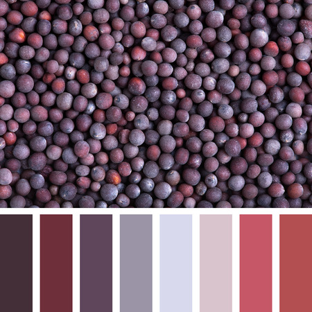 complimentary: A background of black mustard seeds in a colour palette with complimentary colour swatches. Stock Photo