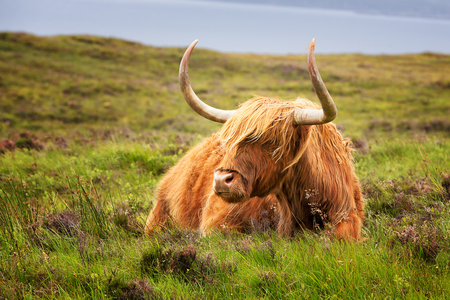 Highland cow on the Isle of Skye, Inner Hebrides, Scotland.