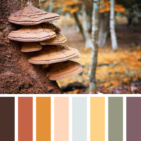 complimentary: Bracket fungus growing on the stump of a beech tree, autumn tones, in the New Forest, Hampshire, UK. In a colour palette with complimentary colour swatches.