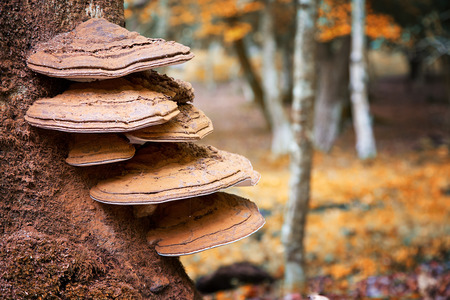 beech tree: Bracket fungus growing from the stump of a dead beech tree. New Forest, Hampshire, UK