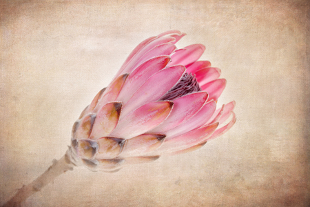 flowerhead: A pink protea flower head. Vintage style processing