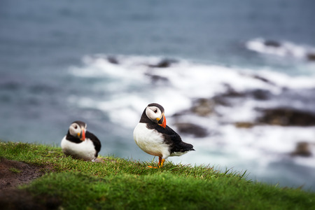 puffins: A pair of puffins on the cliffs of Treshnish Isle, Inner Hebrides, Scotland. Intentional shallow depth of field.