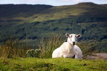mull: Sheep on green bank, Isle of Mull, Scottish Highlands. Stock Photo