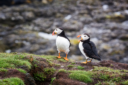 puffins: A pair of puffins on the cliffs of Treshnish Isle, Inner Hebrides, Scotland