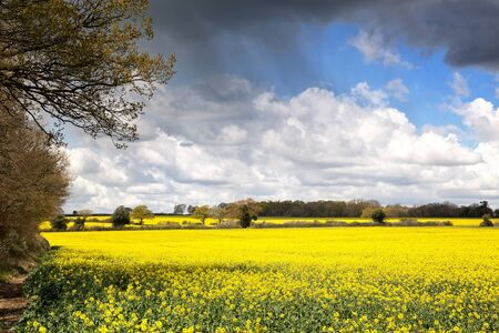 oil rape: A field of yellow rape or canola flowers, grown for the rapeseed oil crop. Late spring in Micheldever, Hampshire, UK Stock Photo
