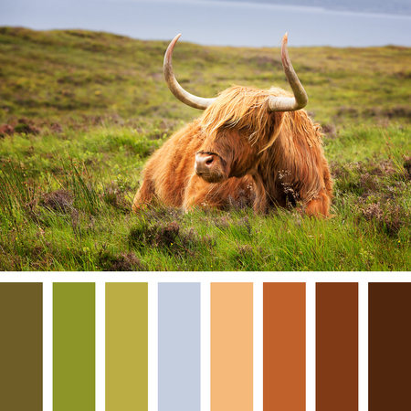 complimentary: Highland cow on the Isle of Skye, Scottish highlands, United Kingdom. In a colour palette with complimentary colour swatches.