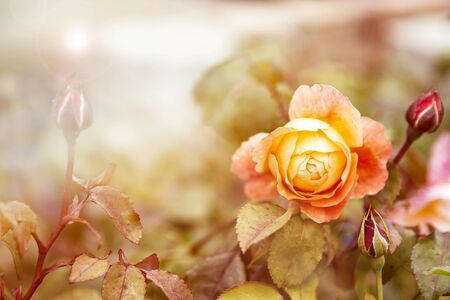 orange rose: Yellow orange rose in sunlight. Retro style processing with intentional lens flare and light leak effect with space for text.